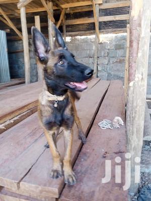 3-6 Month Female Purebred Belgian Malinois   Dogs & Puppies for sale in Nairobi, Karen