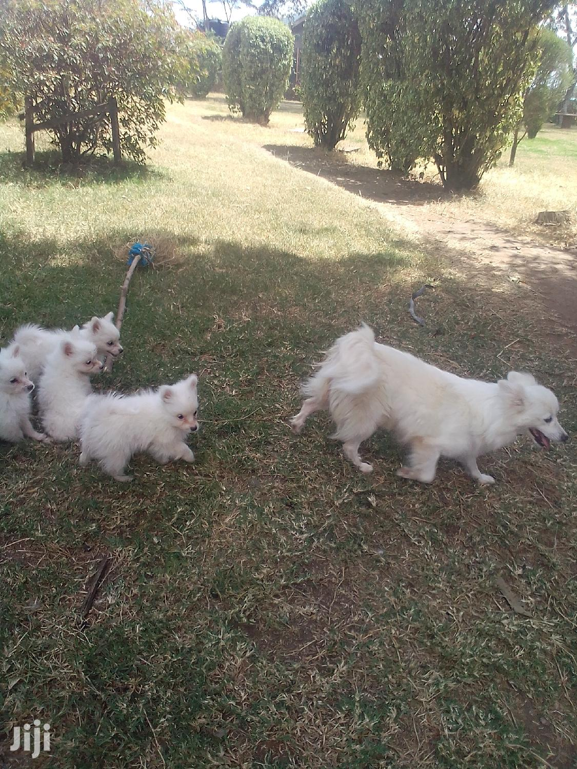 6-12 month Male Purebred Chihuahua | Dogs & Puppies for sale in Lanet, Nakuru, Kenya