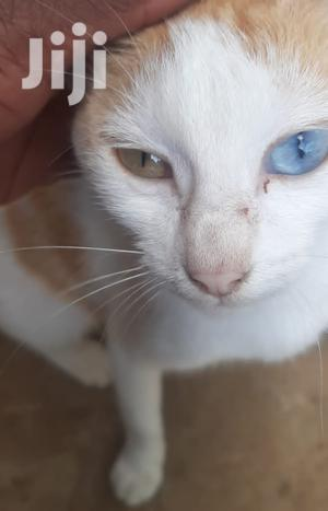 1+ Year Female Purebred American Shorthair | Cats & Kittens for sale in Kaloleni, Mariakani