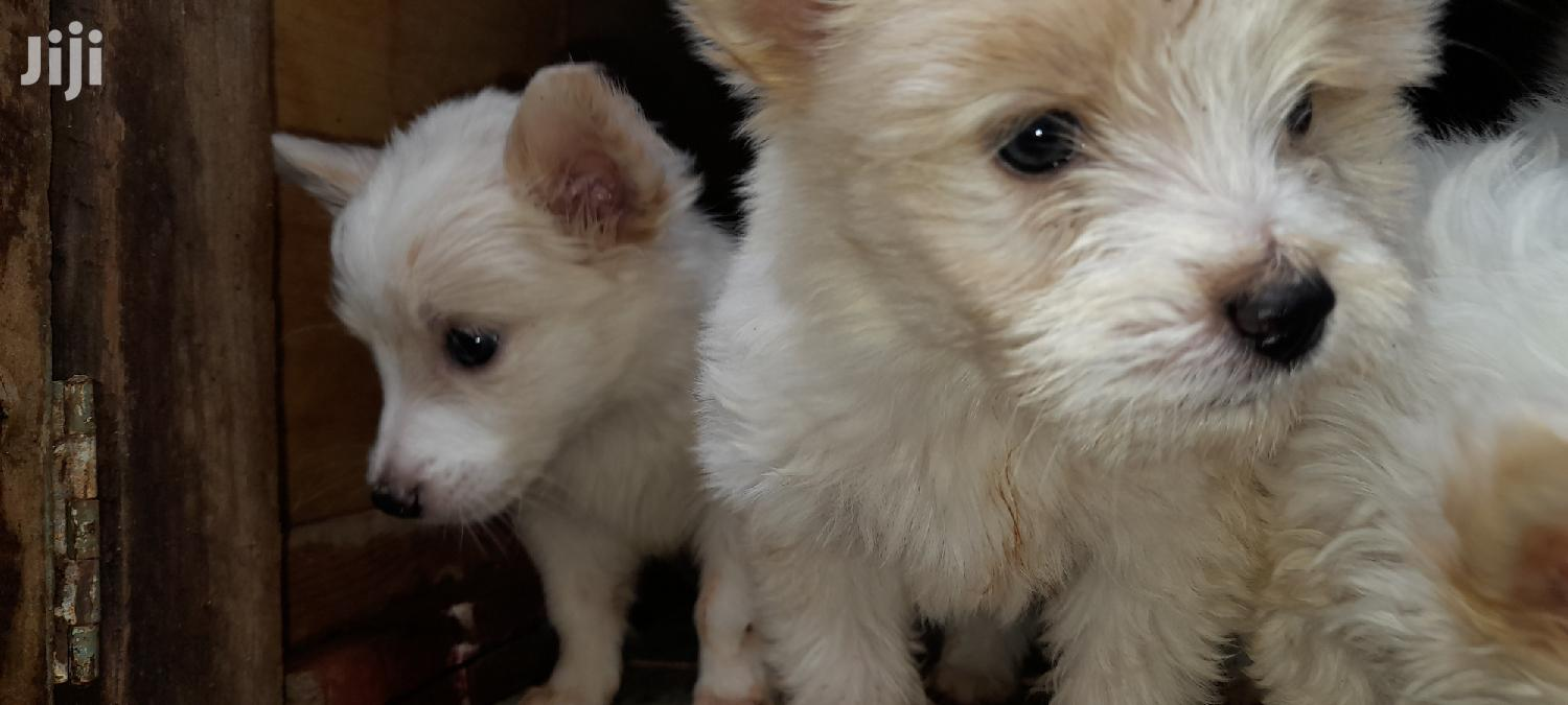 0-1 Month Male Mixed Breed Japanese Spitz