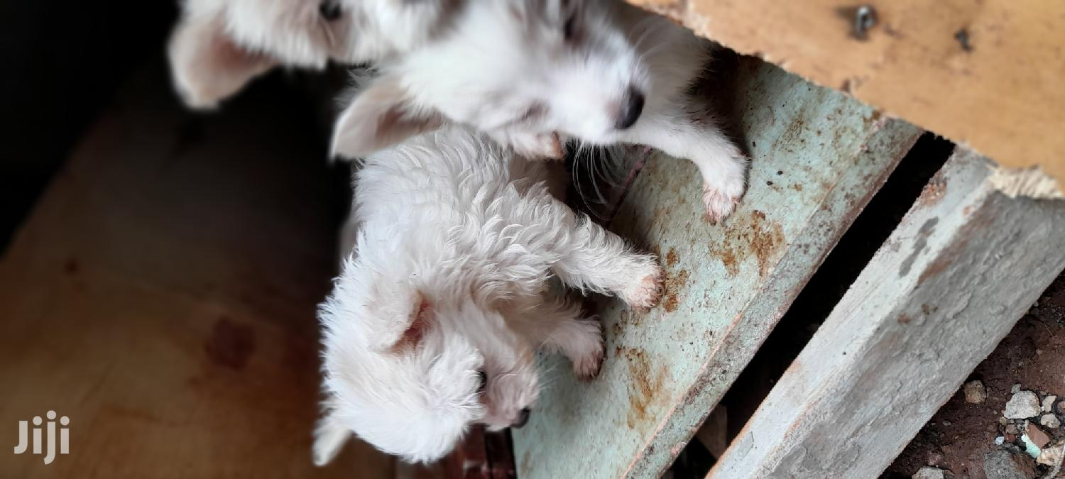 0-1 Month Male Mixed Breed Japanese Spitz | Dogs & Puppies for sale in Westlands, Nairobi, Kenya