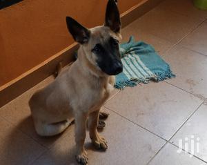 6-12 Month Male Purebred Belgian Malinois   Dogs & Puppies for sale in Kiambu, Ndenderu