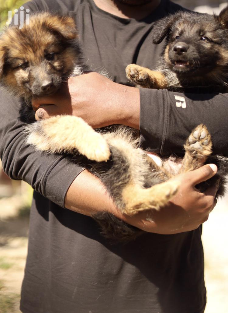 3-6 Month Female Purebred German Shepherd | Dogs & Puppies for sale in Embakasi, Nairobi, Kenya