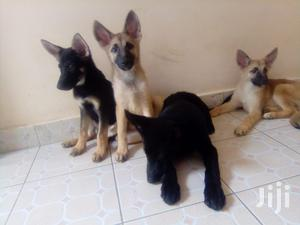3-6 Month Female Purebred Belgian Malinois   Dogs & Puppies for sale in Nairobi, Nairobi Central