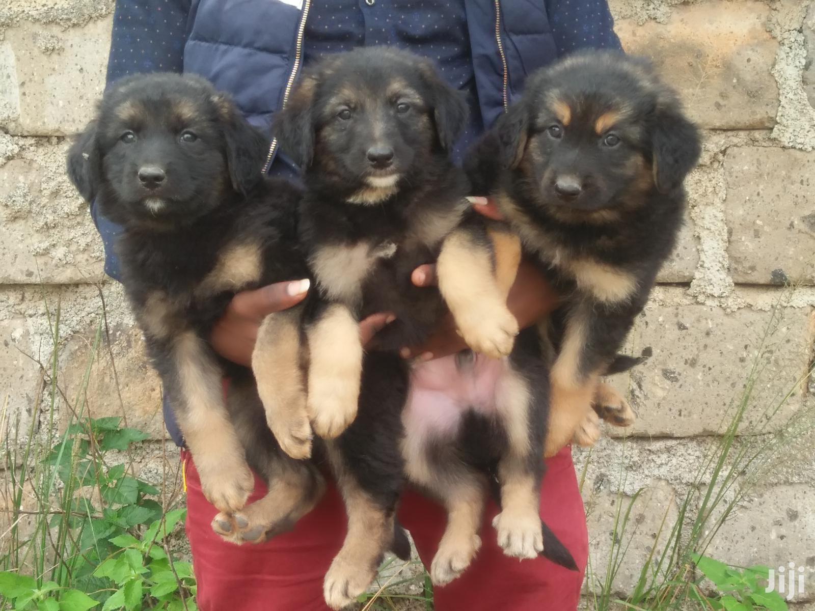1-3 Month Female Purebred German Shepherd   Dogs & Puppies for sale in Juja, Kiambu, Kenya