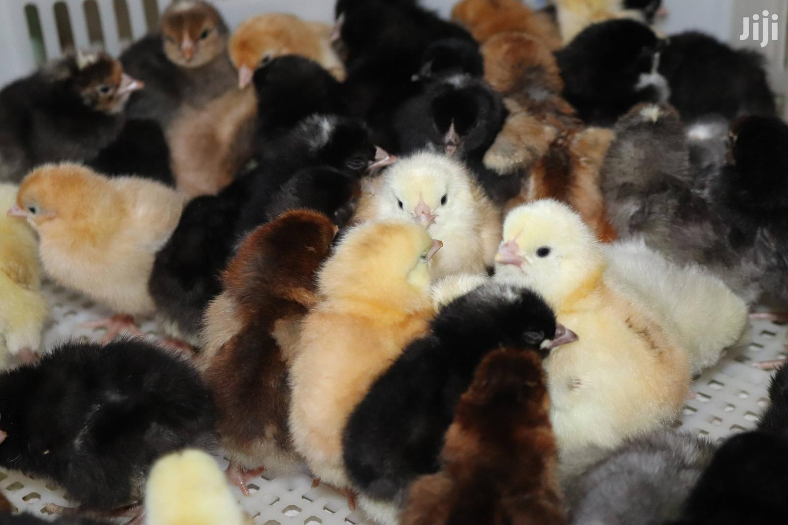 JULY MID YEAR OFFER - Improved Kienyeji Day Old Chicks