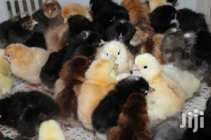 JULY MID YEAR OFFER - Improved Kienyeji Day Old Chicks   Livestock & Poultry for sale in Meru, Municipality