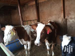 Pedigree Calves on Sale | Livestock & Poultry for sale in Kiambu, Githunguri