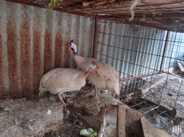 Archive: White Guinea Fowls