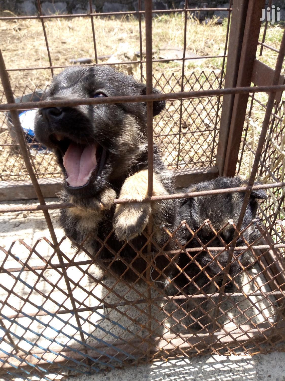 1-3 Month Female Purebred German Shepherd | Dogs & Puppies for sale in Kitengela, Kajiado, Kenya