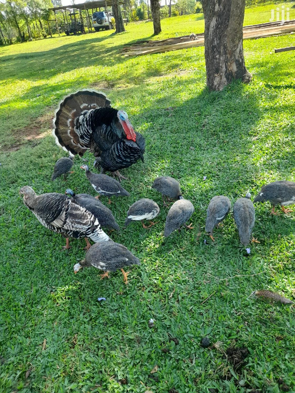 Archive: Mature Guinea Fowls