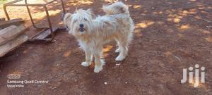 1+ Year Female Purebred Havanese | Dogs & Puppies for sale in Uasin Gishu, Eldoret CBD