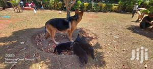 1-3 Month Female Purebred German Shepherd | Dogs & Puppies for sale in Kesses, Racecourse