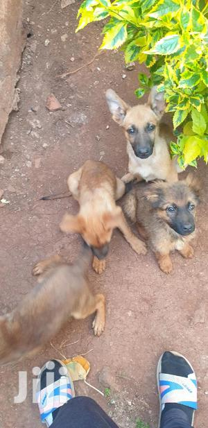3-6 Month Female Purebred Belgian Malinois   Dogs & Puppies for sale in Kiambu, Banana