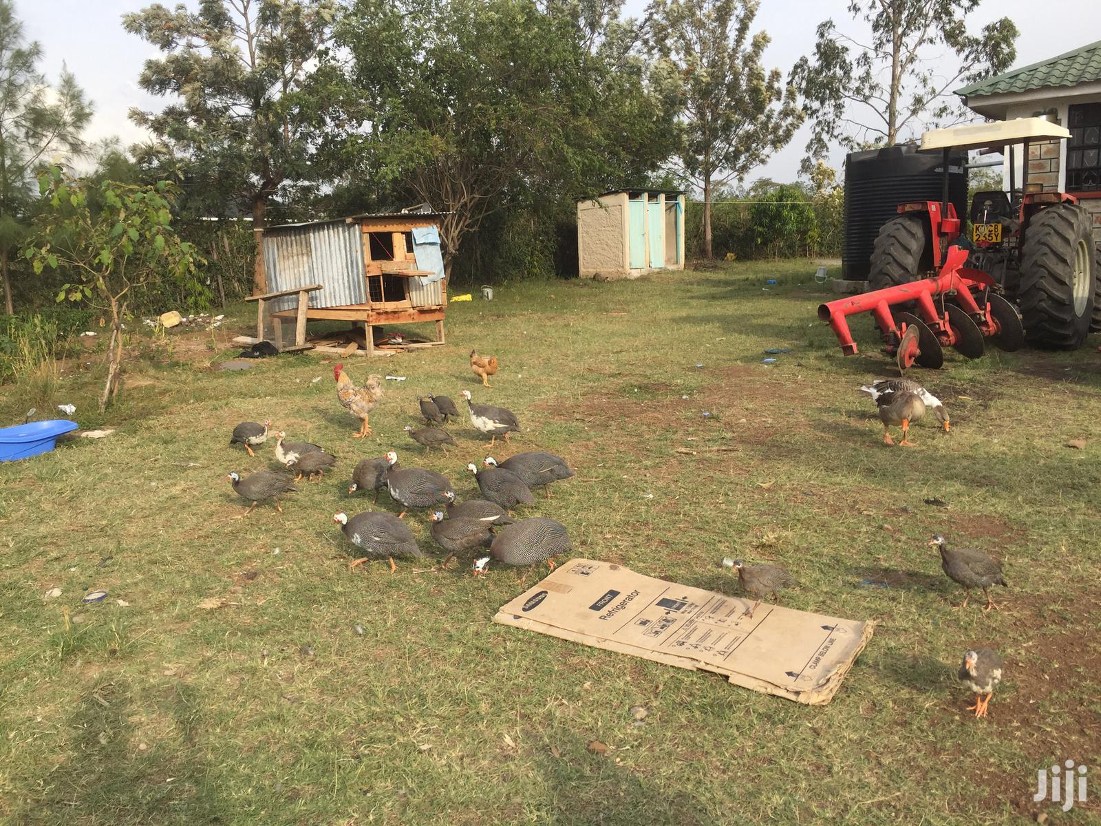 Mature And Young Guinea Fowls | Livestock & Poultry for sale in Kisumu Central, Kisumu, Kenya