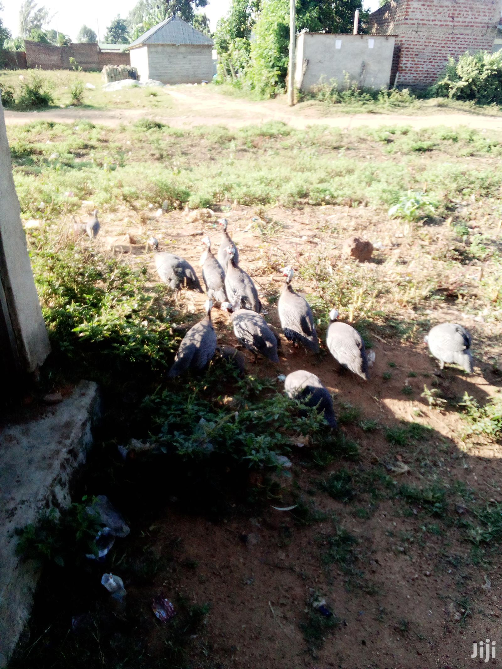 Archive: Kanga / Guinea Fowl