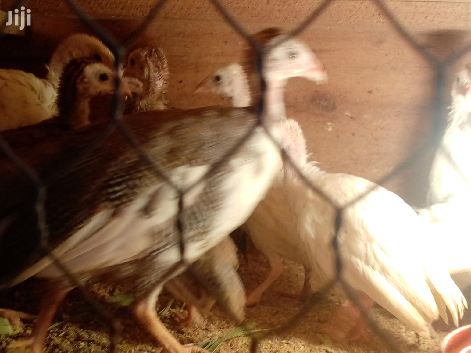 Guinea Fowl Keets for Sale