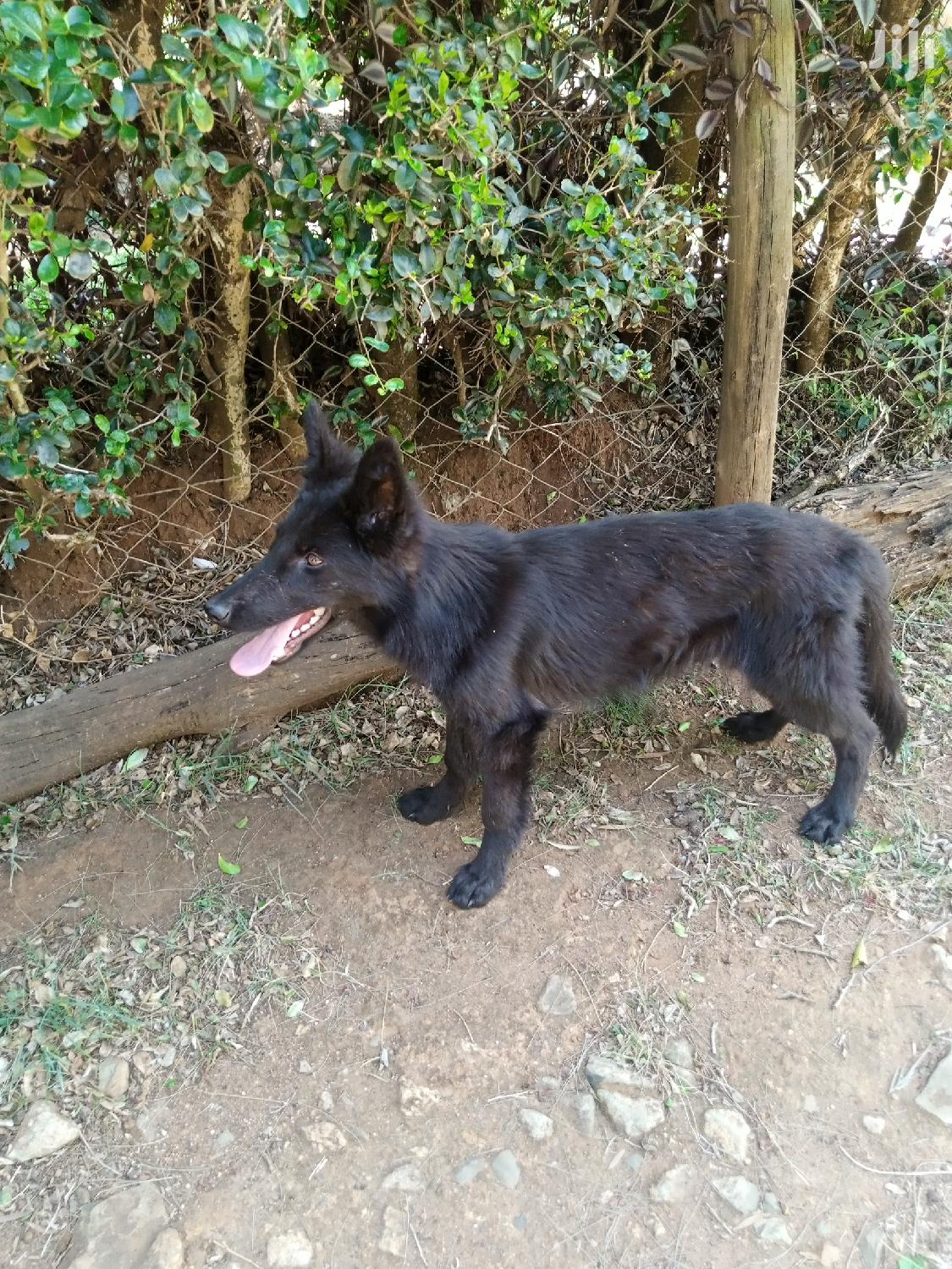 Archive: 3-6 Month Male Purebred German Shepherd