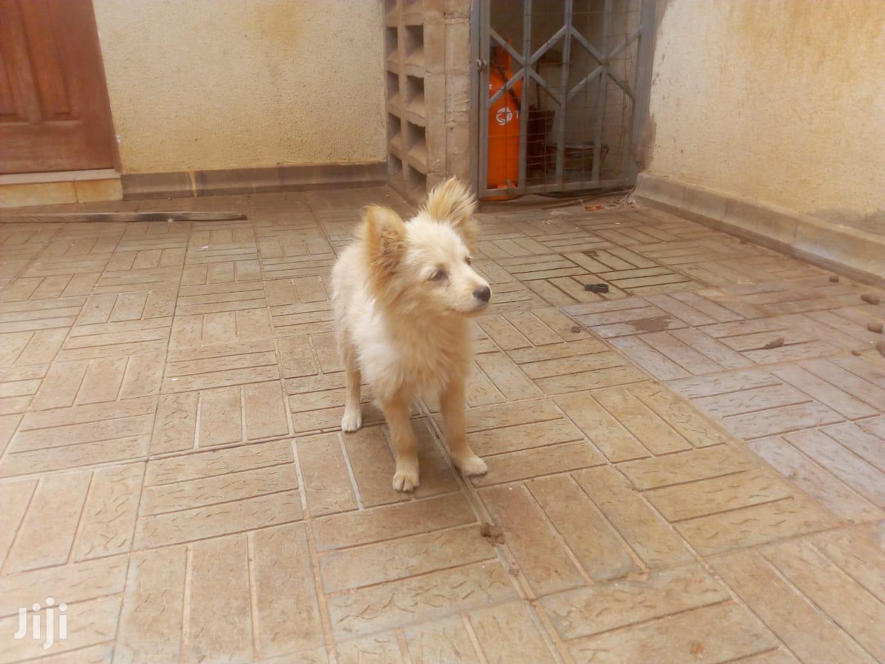 3-6 Month Male Mixed Breed Japanese Spitz | Dogs & Puppies for sale in Langata, Nairobi, Kenya