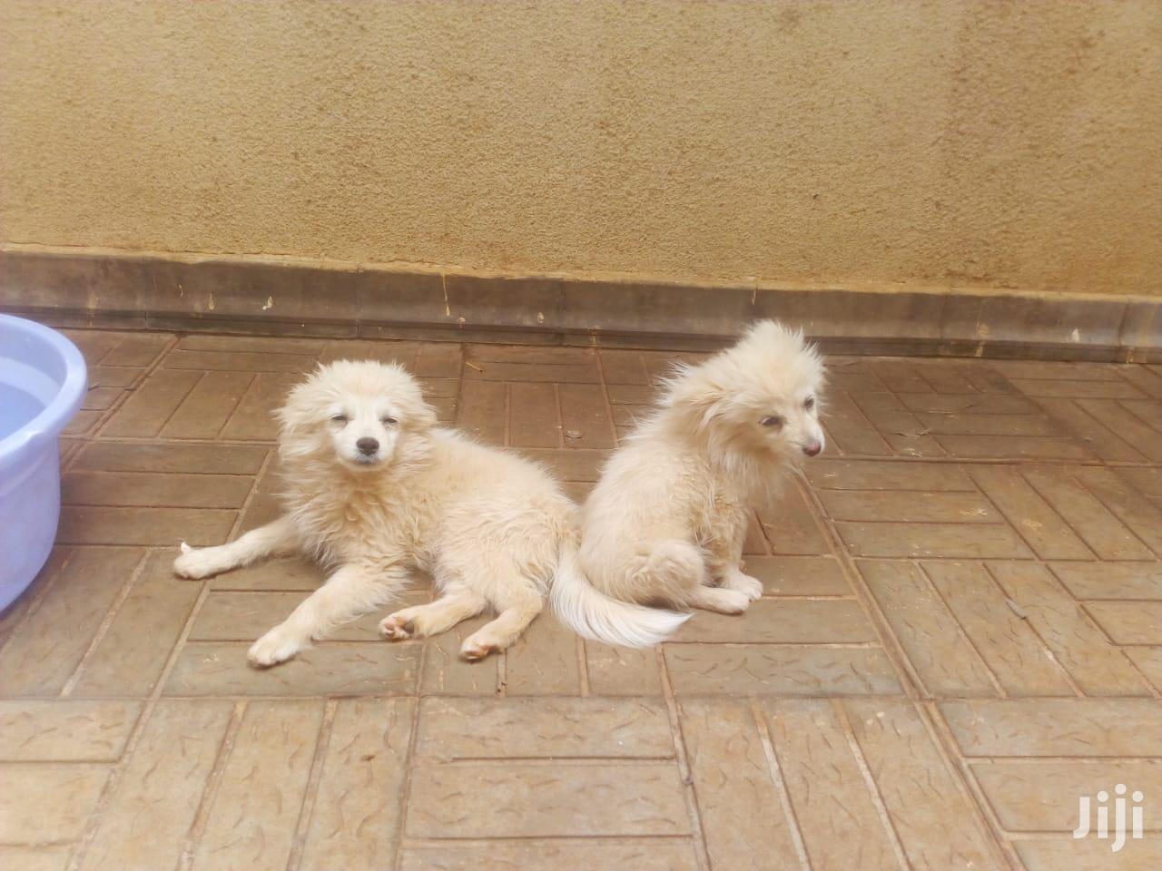 1-3 month Male Mixed Breed Japanese Spitz
