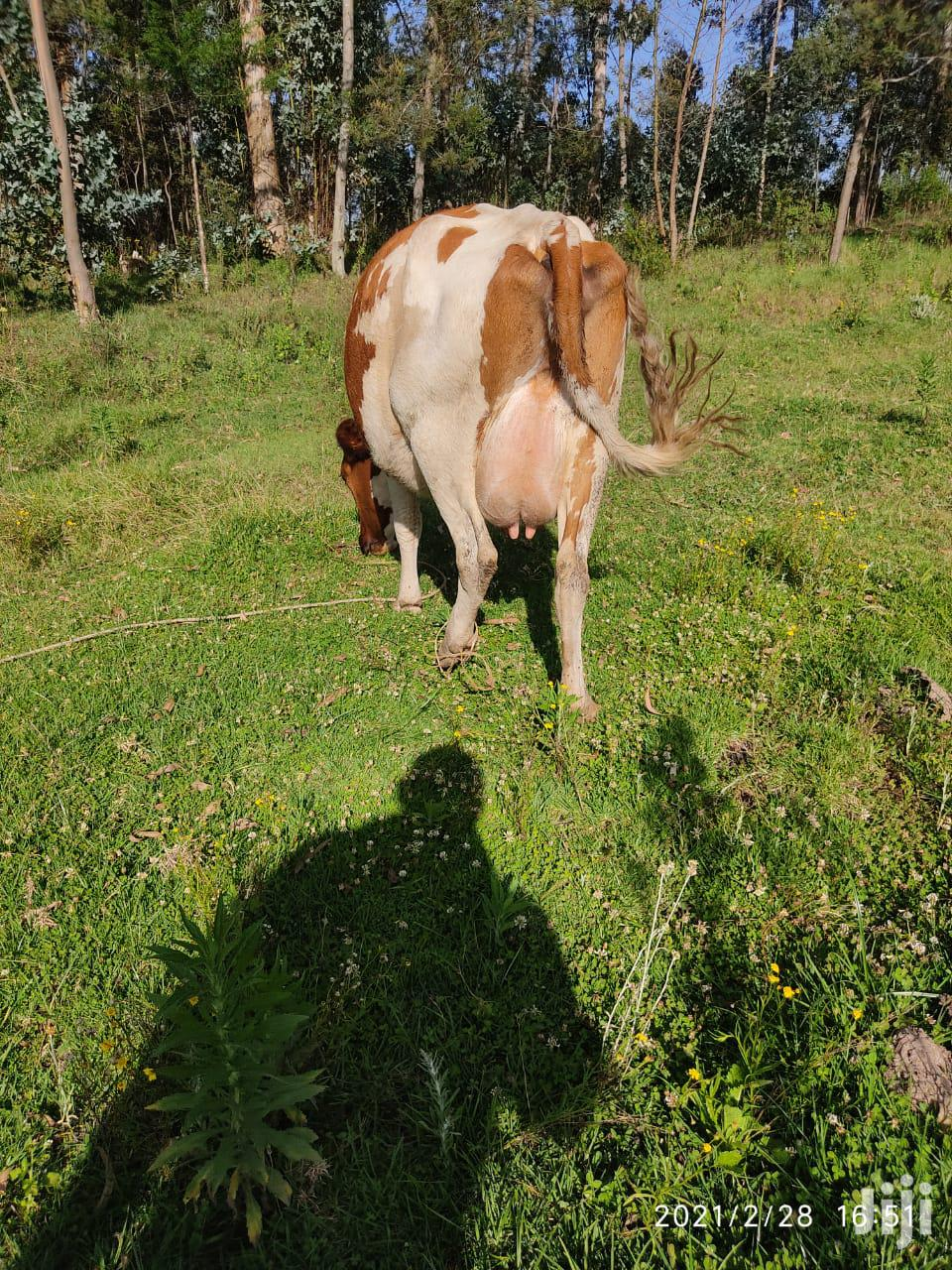 Dairy Cows And Incalf Heifers For Sale