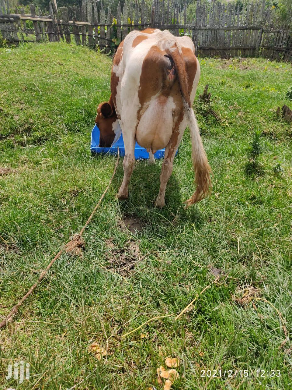 Dairy Cows And Incalf Heifers For Sale | Livestock & Poultry for sale in NjabiniKiburu, Nyandarua, Kenya