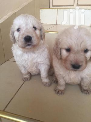 Baby Male Purebred Golden Retriever   Dogs & Puppies for sale in Nairobi, Nairobi Central