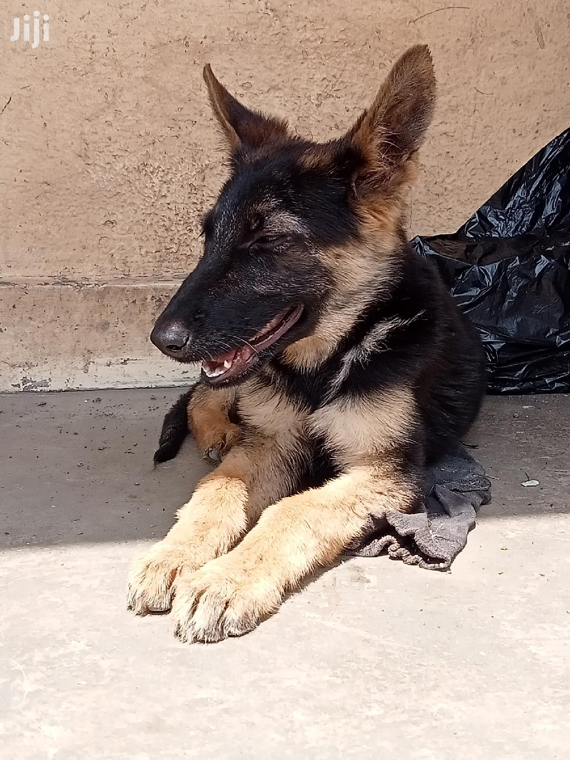 1-3 Month Female Purebred German Shepherd | Dogs & Puppies for sale in Maringo/Hamza, Nairobi, Kenya