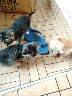 1-3 Month Male Mixed Breed American Shorthair | Cats & Kittens for sale in Machakos, Syokimau