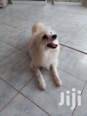 6-12 Month Male Purebred Japanese Spitz | Dogs & Puppies for sale in Kajiado, Kitengela