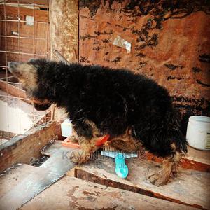 1-3 Month Male Purebred German Shepherd | Dogs & Puppies for sale in Kiambu, Thika