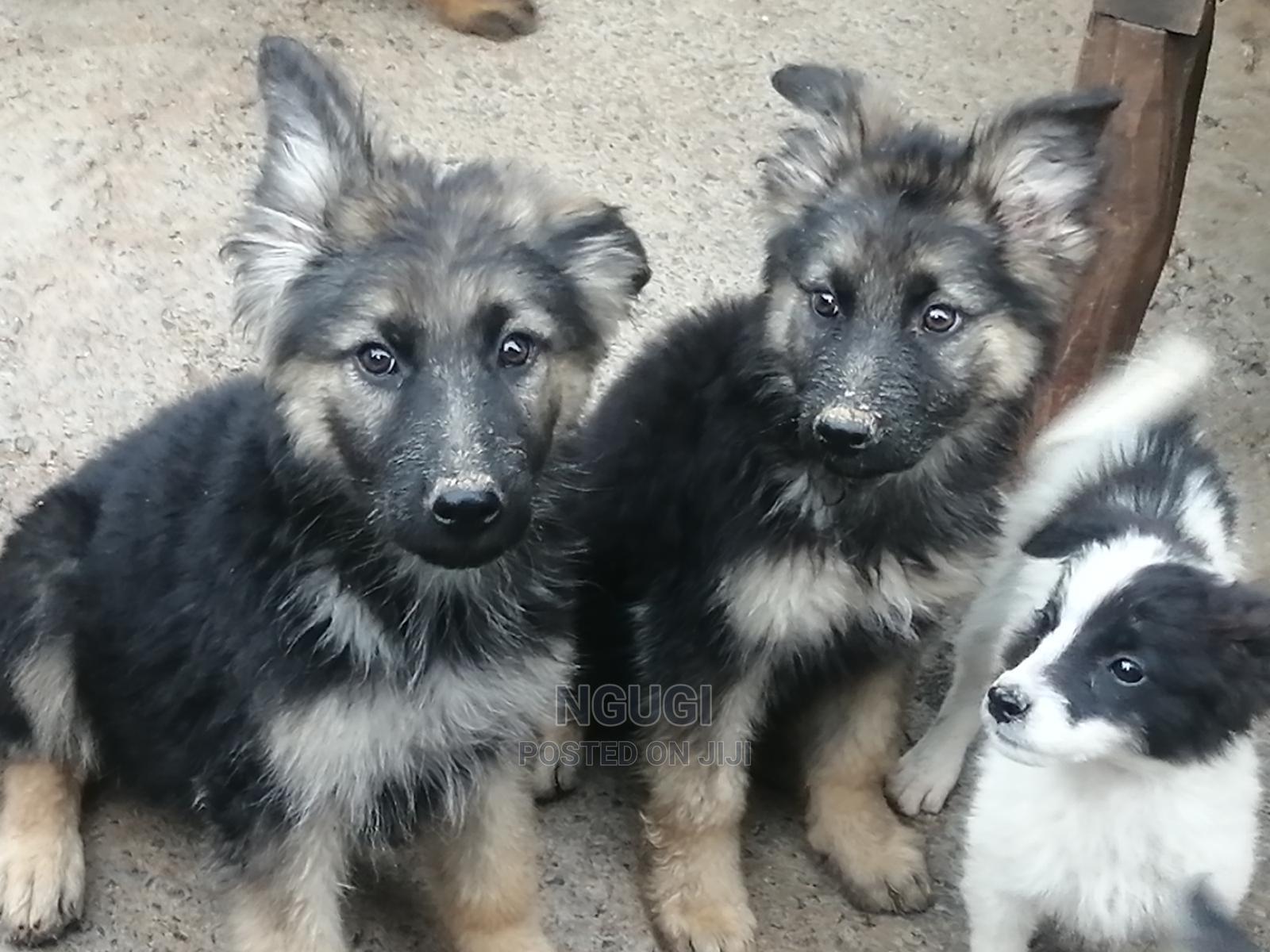 3-6 Month Female Purebred German Shepherd   Dogs & Puppies for sale in Kiambu / Kiambu , Kiambu, Kenya