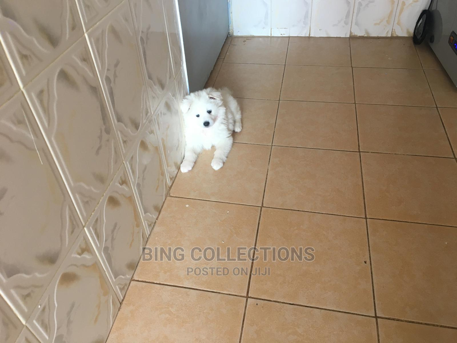 1-3 Month Male Mixed Breed Japanese Spitz | Dogs & Puppies for sale in Kasarani, Nairobi, Kenya