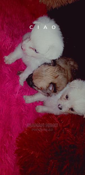 1-3 Month Female Purebred Chihuahua   Dogs & Puppies for sale in Kiambu, Kiambu / Kiambu