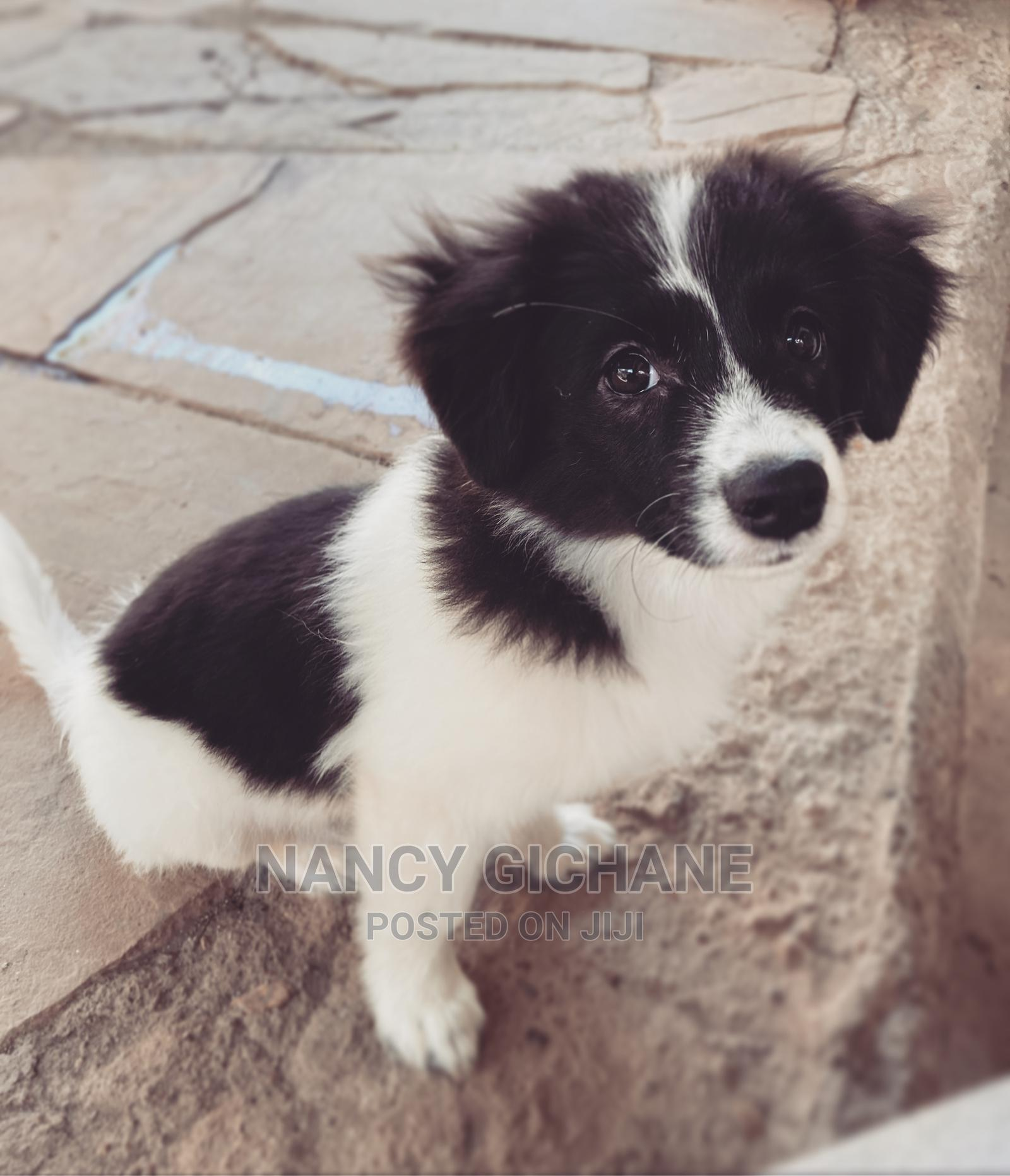 Archive: 1-3 Month Male Mixed Breed Japanese Spitz