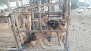 6-12 Month Female Purebred Belgian Malinois   Dogs & Puppies for sale in Laikipia, Nanyuki