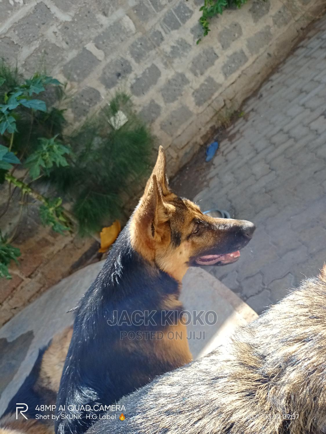 Archive: 3-6 Month Female Purebred German Shepherd
