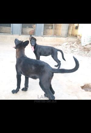 1-3 Month Female Purebred Belgian Malinois   Dogs & Puppies for sale in Nairobi, Karen
