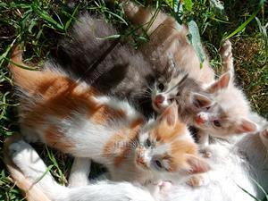 1-3 Month Female Purebred American Shorthair | Cats & Kittens for sale in Nairobi, Umoja