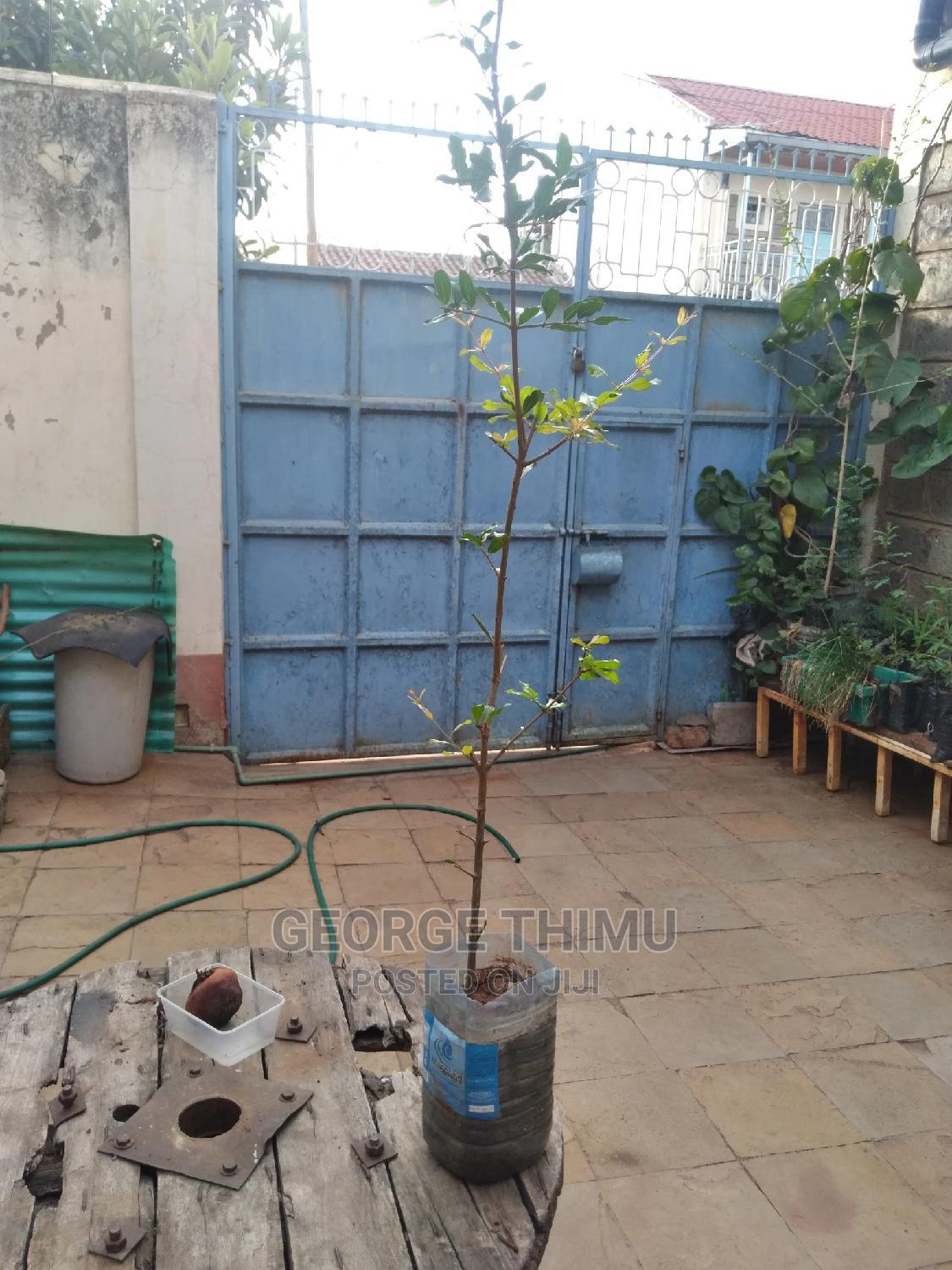 Giant Size Grafted Pomegranate Seedlings on Sale