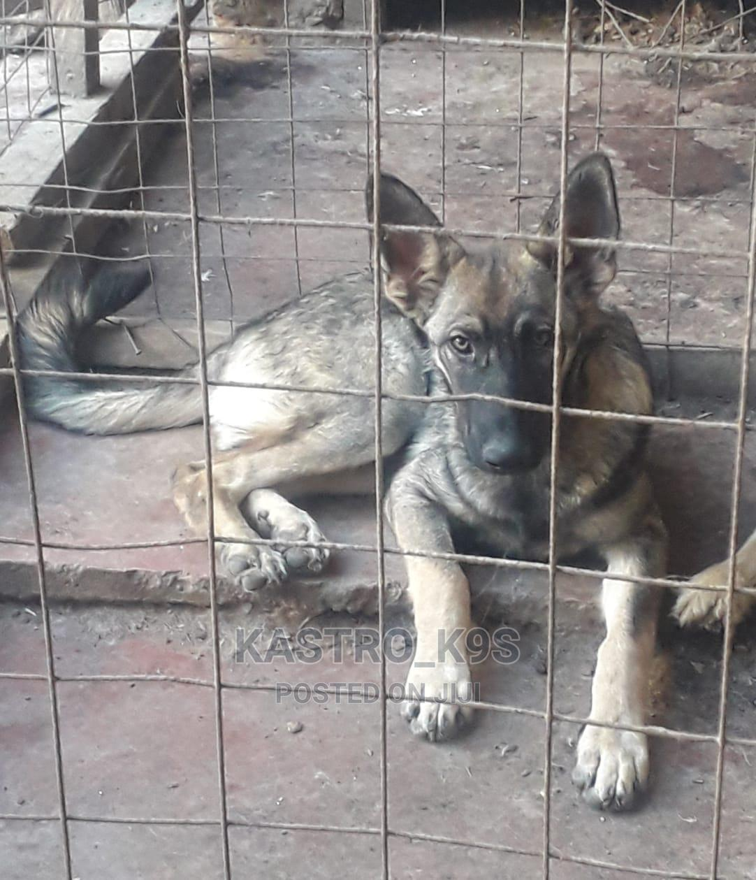 3-6 Month Female Purebred German Shepherd | Dogs & Puppies for sale in Ngong, Kajiado, Kenya