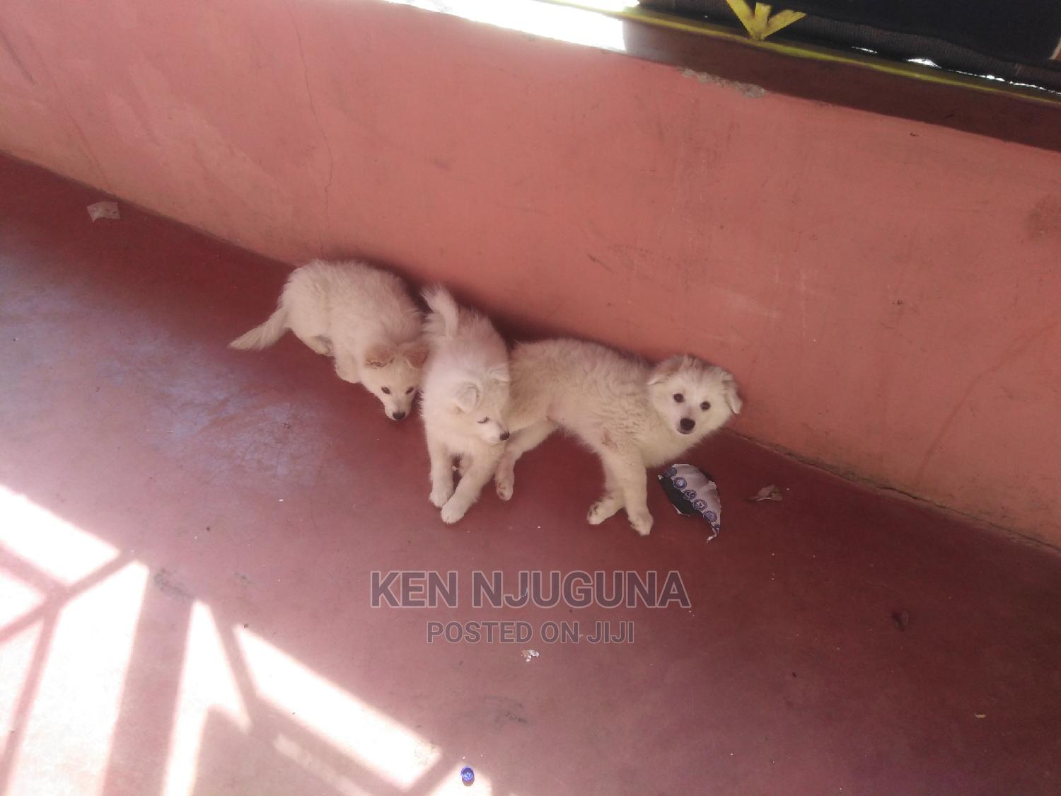 3-6 Month Male Mixed Breed Japanese Spitz | Dogs & Puppies for sale in Mweiga, Kieni, Kenya