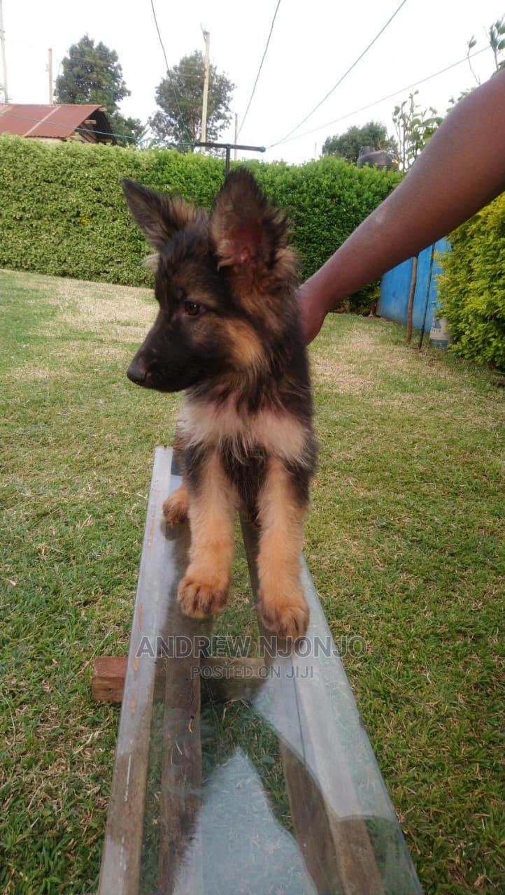 Archive: 3-6 Month Female Purebred German Shepherd