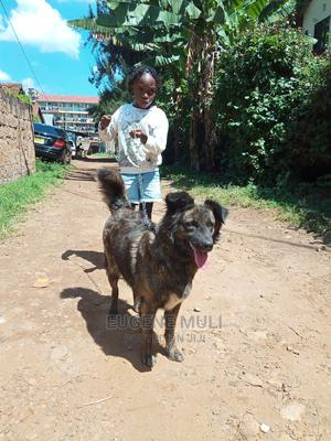 6-12 Month Female Mixed Breed Chihuahua   Dogs & Puppies for sale in Nairobi, Roysambu