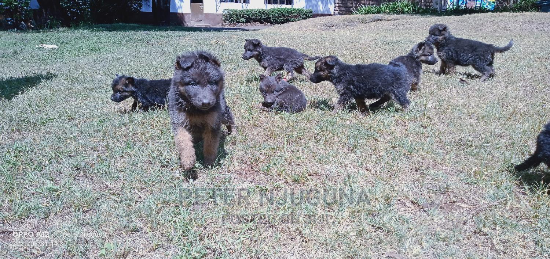 1-3 Month Female Purebred German Shepherd | Dogs & Puppies for sale in Eldoret CBD, Uasin Gishu, Kenya