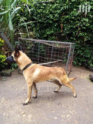 3-6 Month Female Purebred Belgian Malinois   Dogs & Puppies for sale in Kajiado, Kitengela