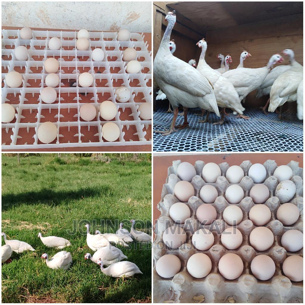 Fertile Pure White Guineafowl Eggs Available