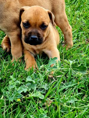1-3 Month Female Purebred Boerboel | Dogs & Puppies for sale in Meru, Municipality