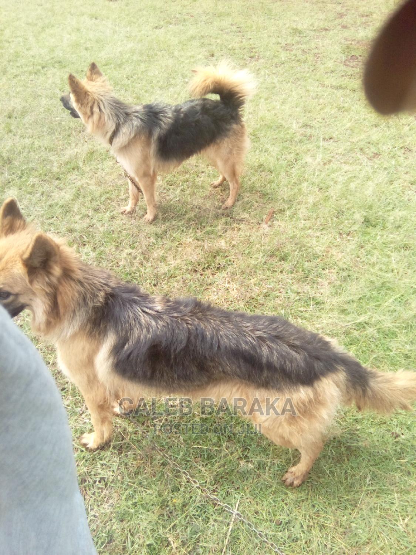 1-3 Month Female Purebred German Shepherd | Dogs & Puppies for sale in Nairobi Central, Nairobi, Kenya