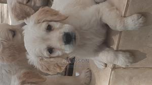 1-3 Month Female Purebred Golden Retriever   Dogs & Puppies for sale in Nairobi, Komarock